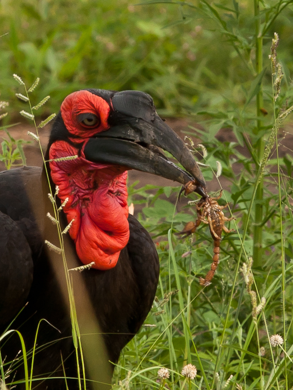 A Southern Ground Hornbill With A Scorpion