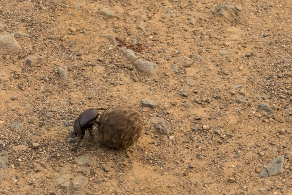A Dung Beetle Hard at Work rolling his ball of dung